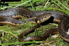 Un serpente di giarrettiera acquatico in canne. immagine stock libera da diritti
