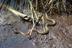 Un serpente di giarrettiera parteggiato rosso Fotografia Stock Libera da Diritti