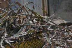 Un serpente di ratto ai giardini zoologici, Dehiwala Colombo, Sri Lanka fotografia stock libera da diritti
