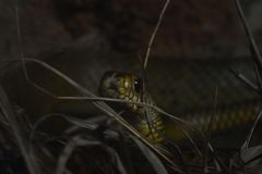 Un serpente di ratto ai giardini zoologici, Dehiwala Colombo, Sri Lanka fotografie stock libere da diritti