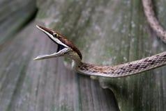 Un serpente di vite marrone pronto a mordere immagine stock