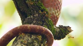 Un serpente marrone dell'albero su un arto vicino alle formiche verdi dell'albero archivi video