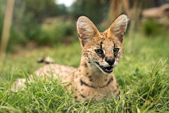 Un serval curieux Photo libre de droits