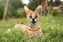 Un serval heureux Photographie stock