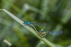 Un sesso di due libellule fotografie stock libere da diritti