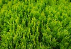 Un seto ajardinado pozo del boj de los arbustos Foto de archivo