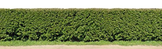 Un seto largo del arbusto decorativo del corte Aislado en alto resolu superior imágenes de archivo libres de regalías