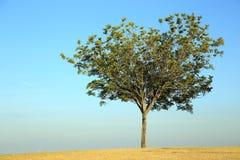 Un seul arbre photo libre de droits