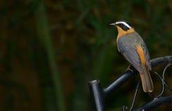 Un Sfregare-Robin dal color cinereo su una sedia del metallo Fotografia Stock Libera da Diritti