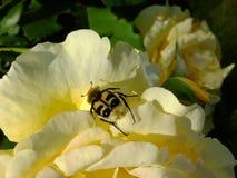 Un sièges jaunes et noirs de scarabée sur une rose jaune Photo stock