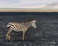 Un sideview de la cebra que se coloca en el cráter de Ngorongoro en un área de la quemadura del control Foto de archivo