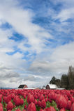 Tulipes de vallée de Skagit Photos libres de droits