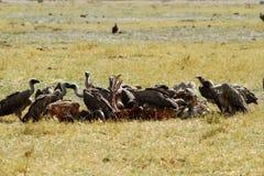 Un sillage des vautours de Vieux Monde Images stock