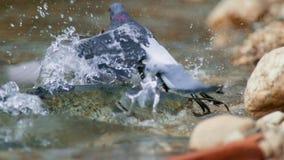 Un siluro montrous de los wels espera palomas y otras presas en agua poco profunda en Albi en el sur de Francia fotos de archivo
