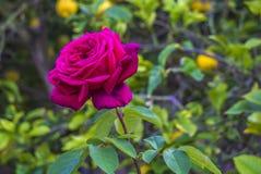 Un simple s'est levé dans un jardin Image libre de droits