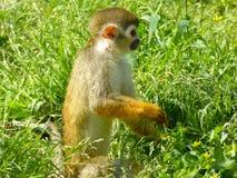 Un singe-écureuil se tenant sur l'herbe Photos libres de droits