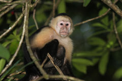 Un singe blanc de visage à l'intérieur d'une forêt verte rican de côte Image libre de droits
