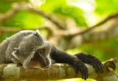 Un singe bleu dans la mélancolie Image libre de droits