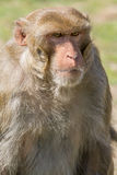 Un singe brun Photographie stock libre de droits