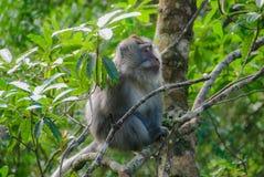 Un singe dans la forêt Photos libres de droits