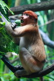 Un singe de buse femelle (Bekantan) image stock