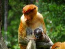 Un singe de buse rare dans le palétuvier de la baie de Labuk photos stock