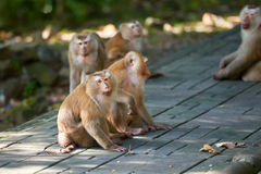 Un singe de macaca, Khao Toh Sae Viewpoint sur la plus haute colline dedans Photographie stock libre de droits