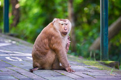 Un singe de macaca, Khao Toh Sae Viewpoint sur la plus haute colline dedans Photos stock