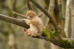 Un singe de macaque de Barbarie de bébé Images libres de droits
