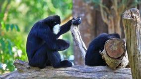 Un singe de Siamang Gibbon jouant sur l'arbre banque de vidéos