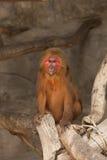 Un singe de visage rouge dans un zoo Photographie stock