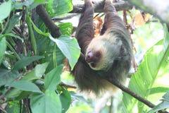 Un singe deux-botté avec la pointe du pied de paresse pendant d'une branche Images libres de droits