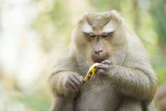 Un singe en Thaïlande mangeant une banane images stock