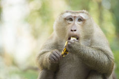 Un singe en Thaïlande mangeant une banane image stock