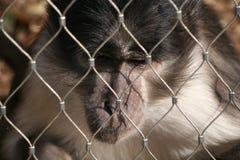 Un singe ennuyé Photo libre de droits