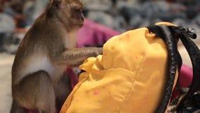 Un singe essaye d'ouvrir le sac à dos et de voler quelque chose de elle clips vidéos