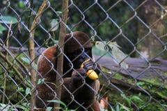 Un singe laineux maintenu dans la captivité mangeant une banane photographie stock libre de droits
