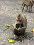 Un singe mangeant du fruit d'étoile avec ses bébés jumeaux Image libre de droits