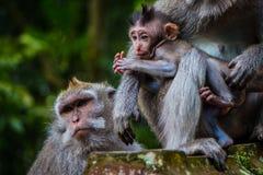 Un singe nouveau-né de bébé se blottit la maman pour la chaleur image stock
