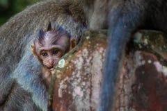 Un singe nouveau-n? de b?b? se blottit la maman pour la chaleur photos libres de droits