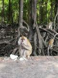 Un singe prenant le déjeuner photographie stock libre de droits