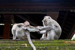 Un singe prend l'enfant à partir des autres Photographie stock libre de droits