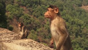 Un singe saisit une banane hors d'une main du ` s d'homme banque de vidéos