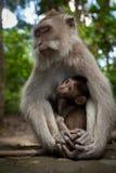 Un singe sauvage sur Bali images libres de droits