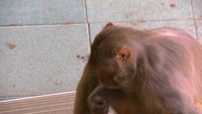 Un singe se reposant sur le plancher d'un bâtiment clips vidéos
