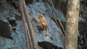 Un singe sur une roche de roche boit l'eau dans une forêt tropicale banque de vidéos