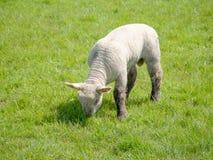 Un singolo agnello Immagini Stock
