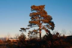 Un singolo albero diritto in autunno con un chiaro cielo blu fotografia stock libera da diritti