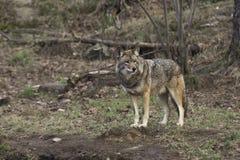 Un singolo coyote in una foresta Fotografia Stock