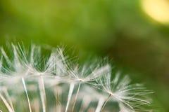 Un singolo dente di leone su fondo verde nella fine dell'estate Fotografia Stock